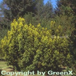 Gelbe Adlerschwingen Eibe 60-70cm - Taxus baccata Aureovariegata - Vorschau