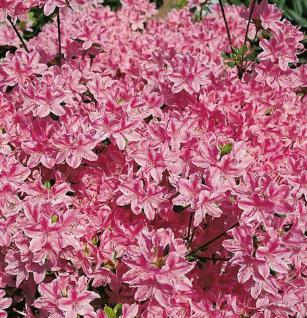 Japanische Azalee Kermesina Rose 15-20cm - Rhododendron obtusum - Alpenrose - Vorschau