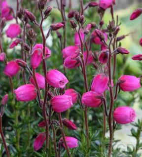 10x Irische Heide Andrea - Daboecia cantabrica - Vorschau