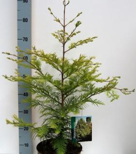 Urweltmammutbaum Chubby 40-60cm - Sequoiadendron giganteum - Vorschau