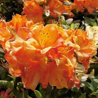 Azalee Glowing Embers 60-80cm - Rhododendron luteum - Alpenrose