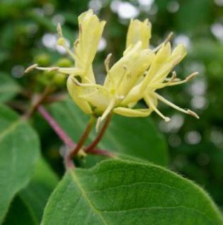 Gemeine Heckenkirsche 100-125cm - Lonicera xylosteum - Vorschau