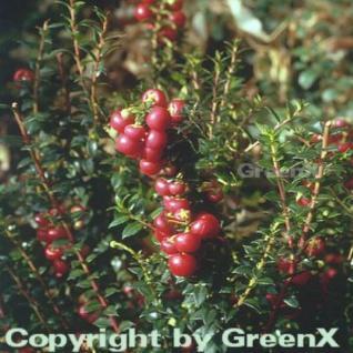 Torfmyrthe rote Beeren - Pernettya mucronata - Vorschau