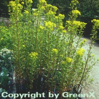 Sumpfwolfmilch - Euphorbia palustris - Vorschau