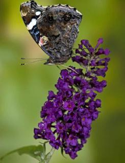 Schmetterlingsstrauch Violet 30-40cm - Buddleja - Vorschau
