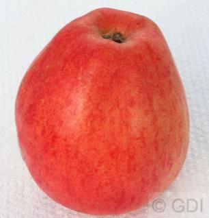 Apfelbaum Nathusius Taubenapfel 60-80cm - würzig und zimtartig - Vorschau