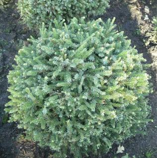Zwerg Serbienfichte Little Boy 50-60cm - Picea omorika - Vorschau