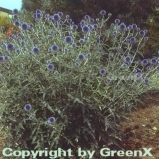 Kugeldistel Veitch Blue - Echinops ritro - Vorschau
