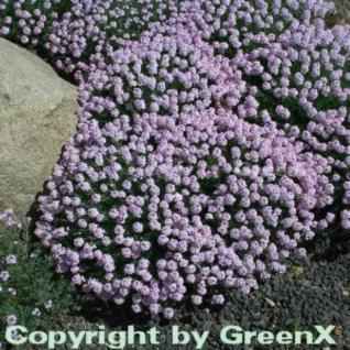 Großblumige Steintäschel - Aethionema grandiflorum - Vorschau