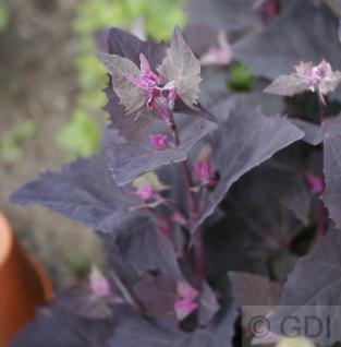 Rote Gartenmelde - Atriplex hortensis - Vorschau