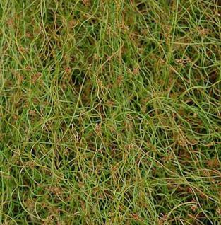 Flatterbinse Spiralis - Juncus effusus - Vorschau