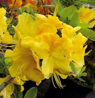 Azalee Hugh Wormald 30-40cm - Rhododendron luteum - Alpenrose - Vorschau