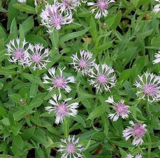 Bergflockenblume Rosea - Centaurea montana - Vorschau