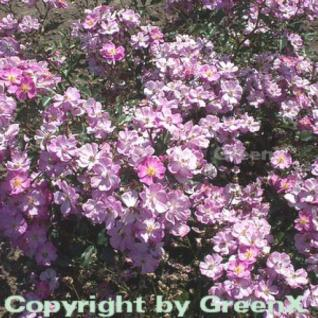 Bodendeckerrose Lavender Dream® 20-30cm - Vorschau