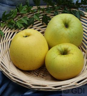 Apfelbaum Golden Delicious 60-80cm - Malus - Vorschau