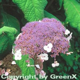 Fellhortensie 40-60cm - Hydrangea aspera - Vorschau