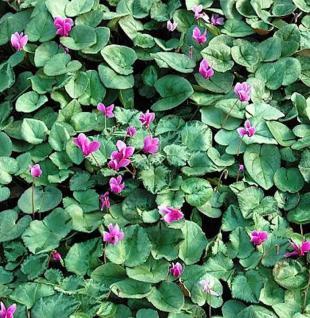Herbst Alpenveilchen Silverleaf Pink - Cyclamen hederifolium - Vorschau