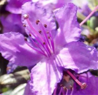 Kriech und Zwerg Rhododendron 30-40cm - Rhododendron radistrotum - Vorschau