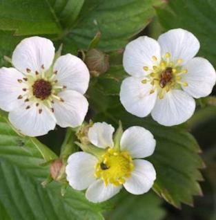 Garten Erdbeere Salsa - Fragaria ananassa - Vorschau