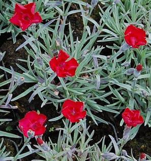 Pfingstnelke Rubin - Dianthus gratianopolitanus - Vorschau