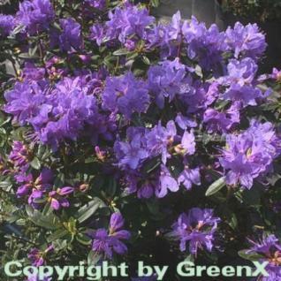 Zwerg Rhododendron Blue Wonder 20-25cm - Rhododendron russatum - Zwerg Alpenrose - Vorschau