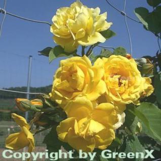 Hochstamm Rose Golden Gate® 80-100cm - Vorschau