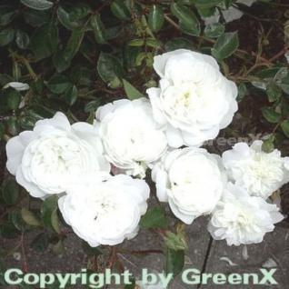 Hochstamm Rose Snow Ballet® 40-60cm - Vorschau
