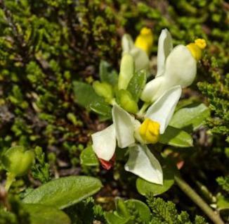 Buxblättrige Kreuzblume - Polygala chamaebuxus - Vorschau