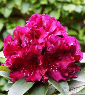 Großblumige Rhododendron Midnight Beauty 40-50cm - Alpenrose