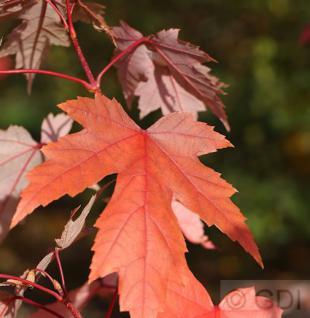 Rot Ahorn Autumn Blaze 125-150cm - Acer freemanii - Vorschau
