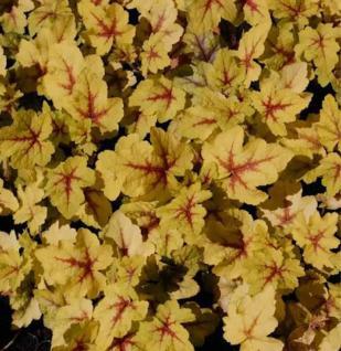 Teppich Purpurglöckchen Stoplight - Heucherella tiarelloides - Vorschau