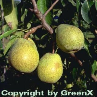 Birne Köstliche von Charneux 60-80cm - saftige und süße Früchte - Vorschau