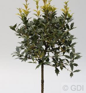 Herbstduftblüte Goshiki 30-40cm - Osmanthus heterophyllus - Vorschau
