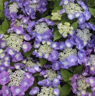 Bauernhortensie Blue Sky 60-80cm - Hydrangea macrophylla - Vorschau