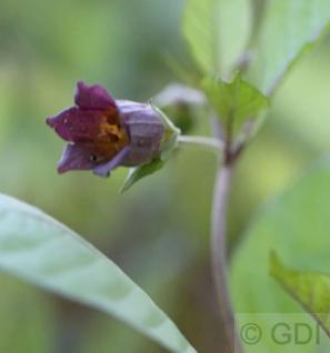 Schwarze Tollkirsche - Atropa belladonna - Vorschau