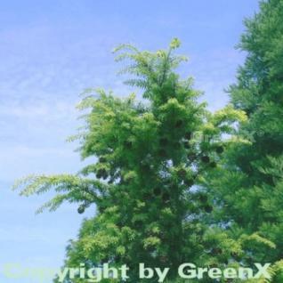 Nordjapanische Hemlocktanne 30-40cm - Tsuga diversifolia - Vorschau