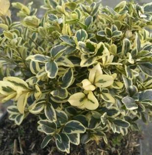 Buntblättriger Buchsbaum 20-25cm - Buxus sempervirens - Vorschau