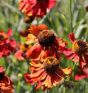 Sonnenbraut Ruby Tuesday - Helenium cultorum