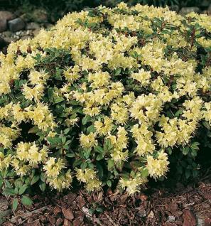 Zwerg Rhododendron Princess Anne 20-25cm - Zwerg Alpenrose - Vorschau
