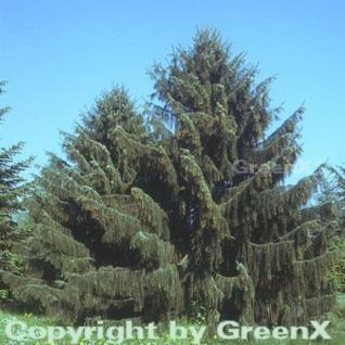 Mähnenfichte 30-40cm - Picea breweriana - Vorschau