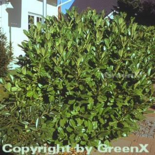 Kirschlorbeer Rotundifolia 80-100cm - Prunus laurocerasus - Vorschau