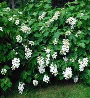 Eichenblättrige Hortensie Tennessee Clone 40-60cm - Hydrangea quercifolia - Vorschau