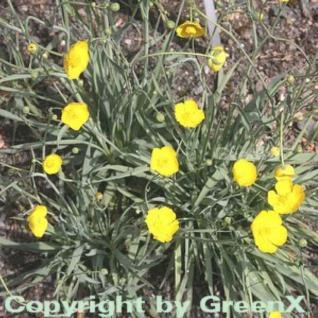 Grasblättriger Hahnenfuß - Ranunculus gramineus - Vorschau