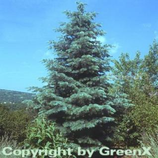 Coloradotanne 80-100cm - Abies concolor - Vorschau