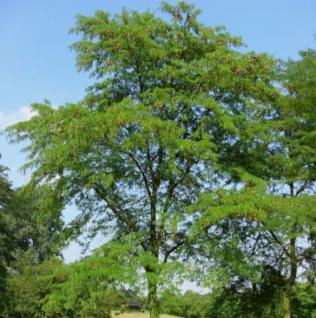 Kaspischer Lederhülsenbaum 80-100cm - Gleditsia caspica - Vorschau