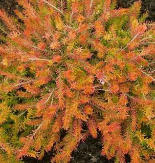 10x Winterheide Foxhollow - Erica carnea - Vorschau