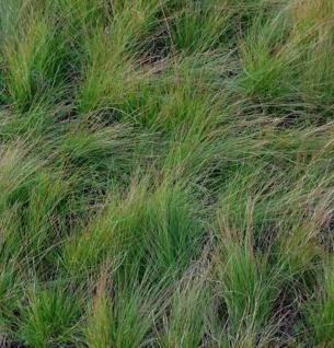 Regenbogenschwingel Walberla - Festuca amethystina - Vorschau