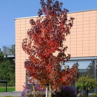 Säulen Amberbaum Stella 60-80cm - Liquidambar styraciflua - Vorschau