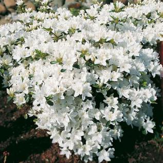 Japanische Azalee Kermesina Alba 30-40cm - Rhododendron obtusum - Zwerg Alpenrose - Vorschau