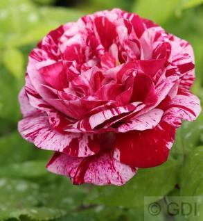 Historische Rose Ferdinand Pichard 30-60cm - Vorschau